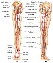 Human Anatomy Atlas Anatomy Of Lower Leg Anatomy Atlas Lower Limb Human Anatomy System