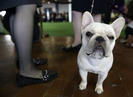 the 2015 westminster kennel club dog show photos abc news