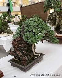 nana bonsai rock clasping