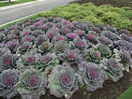 ornamental cabbage the p pdl picture of the week plant pest