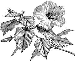 hibiscus flower drawings free download clip art free clip art