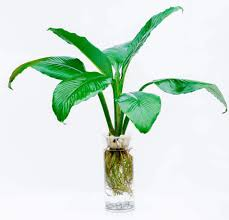 peace lilly peace hydroponic alpha beta flora