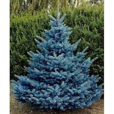 blue spruce trees colorado blue spruce tree seeds picea pungens glauca
