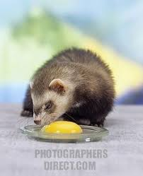 the 25 best ferret diet ideas on pinterest what do ferrets eat