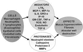 Anatomy And Physiology Of Copd Mediators Of Chronic Obstructive Pulmonary Disease
