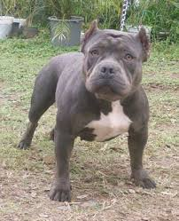 american pitbull terrier size chart american bully breed information history health pictures and more