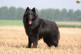 belgian sheepdog health problems highly intelligent belgian sheepdog life information about pet life