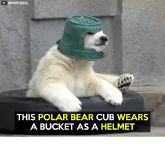 Polar Bear Meme - mmovies21 this polar bear cub wears a bucket as a helmet meme on