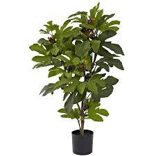 fig tree in pot reviews joss