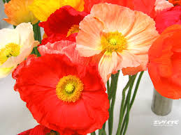 poppies flowers flowers poppies