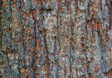 texture a bark of an oak wood tree background pattern stock