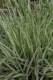variegated feather reed grass calamagrostis x acutiflora overdam