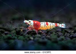 shrimp ornamental shrimp stock photo royalty free image