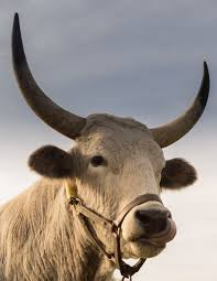 free stock photo of animal bull cow