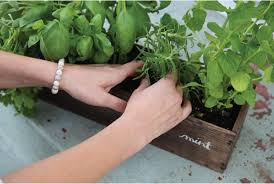 Window Sill Herb Garden Designs Captivating Window Sill Herbs Designs With How To Grow A