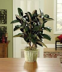 plant delivery green plants house plants delivered fromyouflowers