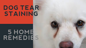 tear staining in dogs 5 natural answers youtube