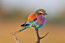 the lilac breasted roller bird nature u0027s pastel palette album