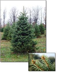 blue spruce trees fresh blue spruce christmas trees christmas farms