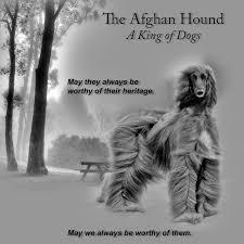 us afghan hound the afghan hound in america