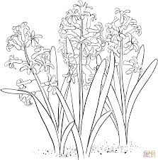 hyacinthus orientalis or common garden hyacinth coloring page