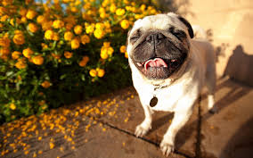 pug dog wallpapers android apps on google play
