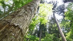 cedar tree identification sciencing