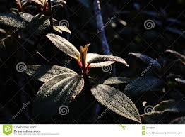 plant native herb or shrublet plant native to south china and southeast asia
