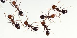 how to kill fire ants in the lawn u0026 garden from the experts at