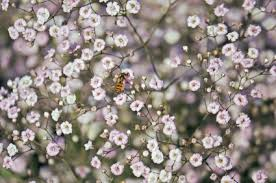 baby s breath annual baby s breath a profile of an annual flower howstuffworks