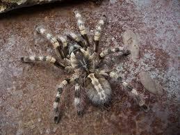 46 best tarantula wishlist images on spiders baboon