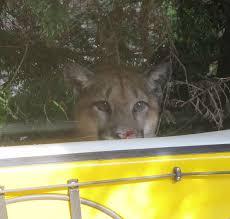 let u0027s talk cougars and deer in nanoose bay b c bears matter