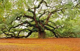 the oak tree charleston photo one big photo