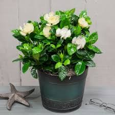 Fragrant Plants For Pots - fragrant gardenia gifts for every occasion