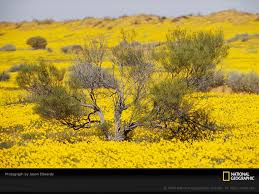 old spinifex rings little sandy desert australia wallpapers photo yellow desert wildflowers raw land photos pinterest