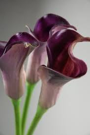 purple calla lilies touch purple calla bud flowers 25