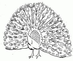 peacock drawing outline free printable peacock coloring pages for