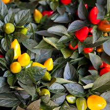 ornamental capsicum plants in pot royalty free stock image