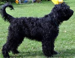 belgian shepherd skin problems belgian shepherd so pets