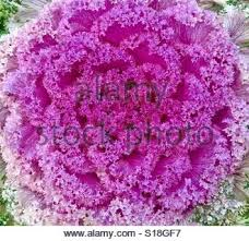 up of an ornamental coral lettuce stock photo royalty free