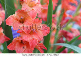 Gladiolus Flowers Gladiolus Stock Images Royalty Free Images U0026 Vectors Shutterstock