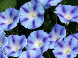 blue morning wallpapers morning glory wallpapers earth hq morning glory pictures 4k