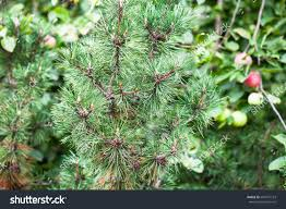 image z stock photo twig of ornam