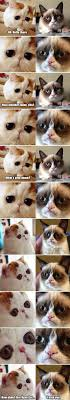 american shorthair cat breeds funny memes memes and animal