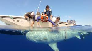 hawaiʻi tiger shark tracking pacioos