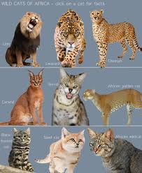 wild cats of africa for kids poc