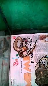 film ular phyton gagal strike ular phyton brongersmai kalah sama tikus rat youtube