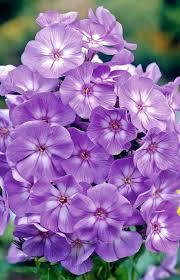 233 best phlox images on pinterest flower gardening beautiful