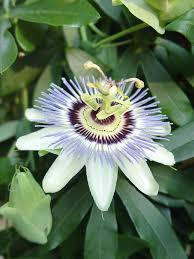 native plants passionflower vine grows passion flower isn u0027t flowering pennlive com