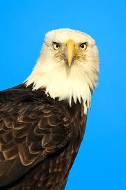 free picture bird raptor up close bald eagle